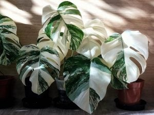 The expensive houseplant called the Potted Variegated Monstera Delicosa or Swiss Cheese plants with green and white leaves, against a wooden wall | Luxury Homes by Brittany Corporation