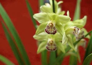 Yellow and purple Shenzhen Nongke Orchid with long green spiky leaves against a red background | Luxury Homes by Brittany Corporation