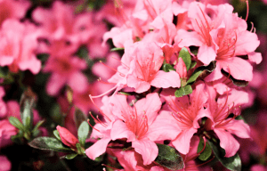 Macro shot of pink azalea flowers | Luxury Homes by Brittany Corporation