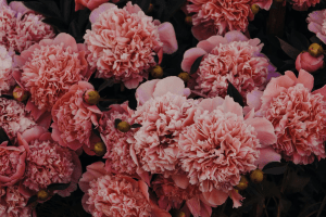 A bunch of full-grown pink carnations | Luxury Homes by Brittany Corporation