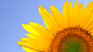 Sunflowers are one of the best sources for Vitamin D | Luxury Homes by Brittany Corporation