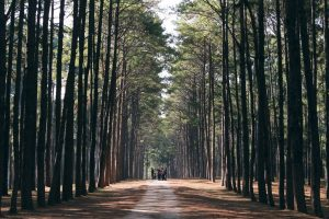 The 35000 pinetrees in Crosswinds Tagaytay