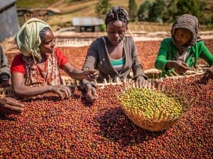 Three women sorting coffee beans in ethiopia | Luxury homes by brittany corporation