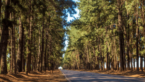 pine tree forest trail in crosswinds tagaytay   luxury homes by brittany corporation