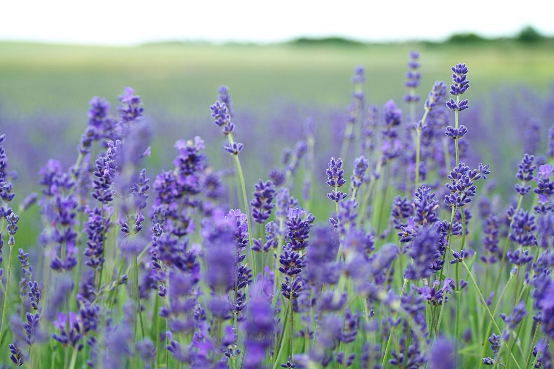 Field of lavender flower plants in a landscape   luxury lifestyles and homes by brittany corporation