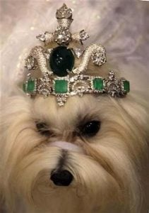 White pet dog with jeweled tiara or crown as expensive jewelry for animals | luxury lifestyles and homes by Brittany Corporation