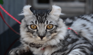 A black and gray american curl cat perfect for any luxury home   luxury homes by Brittany corporation