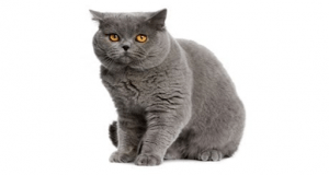 A gray british shorthair cat sitting on a table in a luxury home in crosswinds tagayay   luxury homes by brittany corporation
