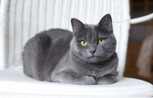 gray russian blue cat with green eyes laying down on a white bed in a luxury home   luxury homes by brittany corporation