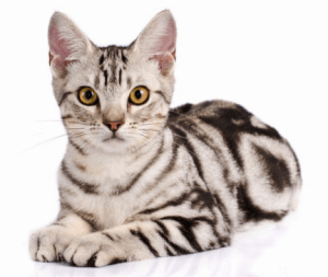 black and white mini tiger american shorthair cat in a luxury condominium floor   luxury homes by brittany corporation