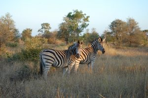 2 zebras in the middle of grasslands at kruger national park | Luxury Homes by Brittany Corporation