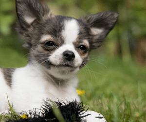 A grey and white coated Chihuahua | Luxury Homes by Brittany Corporation