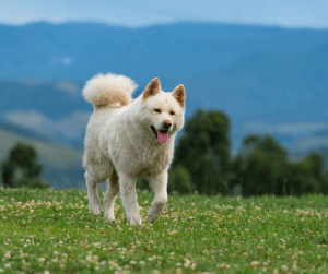 Japanese and American variants of Akitas are some of the most loyal dogs in the world | Luxury Homes by Brittany Corporation