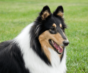 Lassie is one of the most popular dogs and Collies are some of the most sought-after dog breeds for their loyalty | Luxury Homes by Brittany Corporation