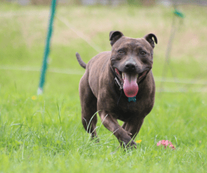 Staffordshire Bull Terrier | Luxury Homes by Brittany Corporation