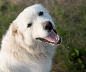 Great Pyrenees is another breed of loyal dogs that are known to be gentle and good with children | Luxury Homes by Brittany Corporation