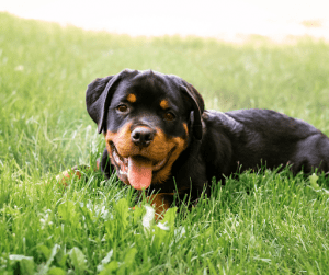 Young black Rottweiler on grass | Luxury Homes by Brittany Corporation