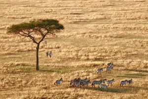 a group of Zebras on the grasslands of Serengeti National Park | Luxury Homes by Brittany Corporation